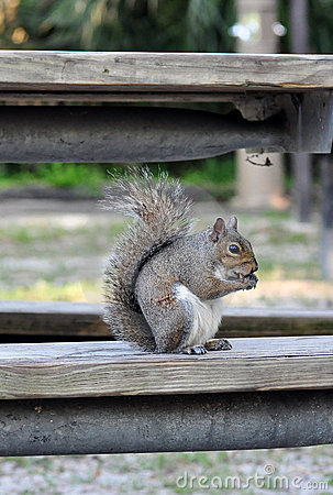 An Eastern Grey squirrel