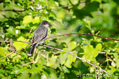 Eastern Kingbird Perched in a Tree