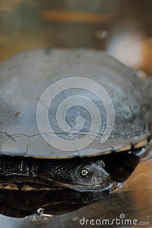Free Eastern Long-necked Turtle (Chelodina Longicollis) Stock Photos - 44990943