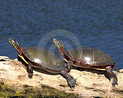 Eastern Painted Turtle (Chryse