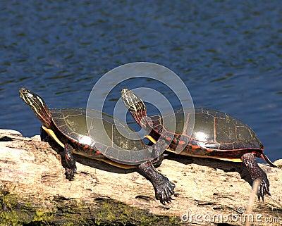 Eastern Painted Turtle (Chryse