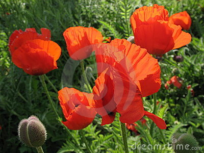 The eastern poppy