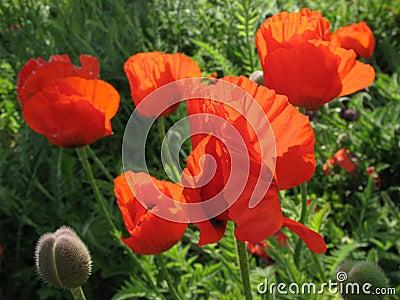 The eastern poppy
