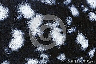 Eastern Quoll fur detail, Tasmania