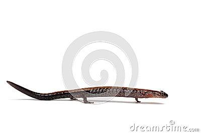 salamander white background - photo #49