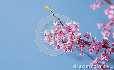 Eastern Redbud tree, Cersis canadensis