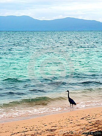 Eastern Reef Egret (Ardea sacra)