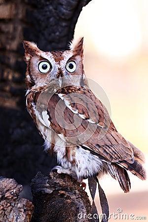 Eastern Screech Owl - Big Eyes