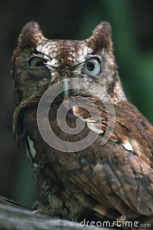 Eastern Screech Owl Mad