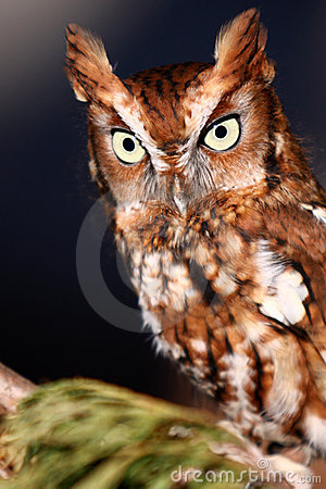 Eastern Screech Owl Perched
