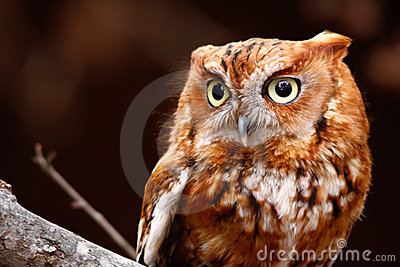 Eastern Screech Owl Red Phase Perching