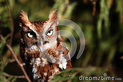Eastern Screech Owl Screeching!