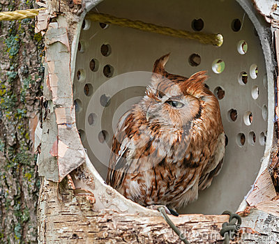 Eastern Screech Owl in Simulated Tree Cavity Pe
