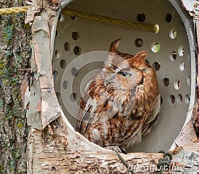 Eastern Screech Owl in Simulated Tree Cavity Pe