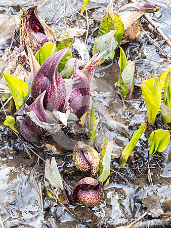 Eastern Skunk Cabbage Breaking Through Ice