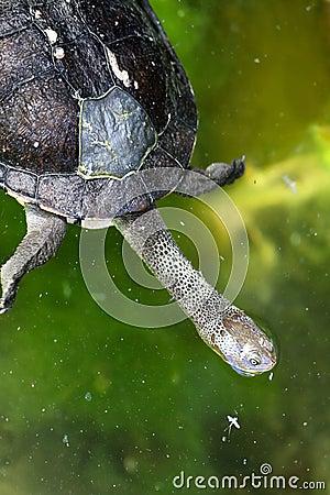 Free Eastern Snake-Necked Turtle - Australian Native Royalty Free Stock Photo - 12347255