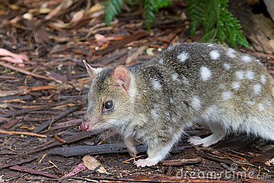 Eastern Spotted Quoll
