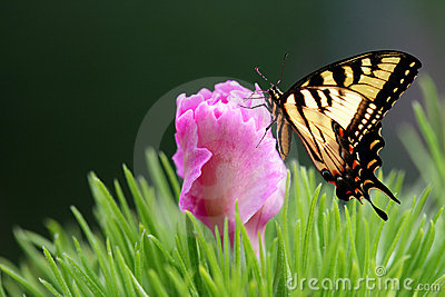 Eastern Tiger Swallow Tail Butterfly and Dianthus