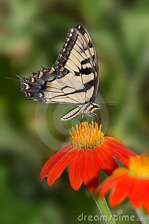 Free Eastern Tiger Swallowtail Stock Photography - 18807902