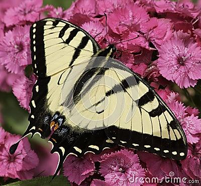 Free Eastern Tiger Swallowtail Stock Photo - 55701830