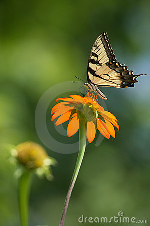 Free Eastern Tiger Swallowtail Royalty Free Stock Image - 8137846