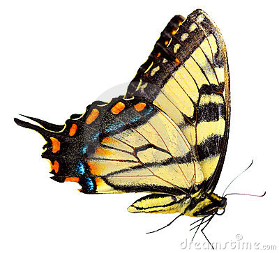 Free Eastern Tiger Swallowtail Butterfly Royalty Free Stock Photo - 10807405
