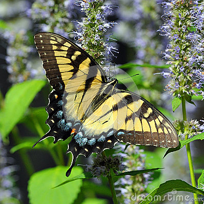 Free Eastern Tiger Swallowtail Butterfly Royalty Free Stock Photo - 57714665