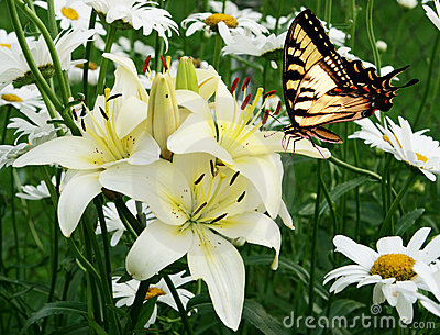 Eastern tiger swallowtail butterfly and flowers