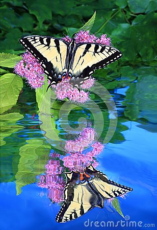 Free Eastern Tiger Swallowtail Butterfly Reflection Royalty Free Stock Photography - 72564447