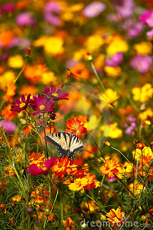 Eastern Tiger Swallowtail Butterfly on Wildflowers