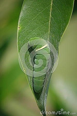 Free Eastern Tiger Swallowtail Caterpillar Stock Image - 91197601