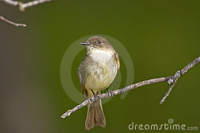 Eastern Wood-Pewee perched