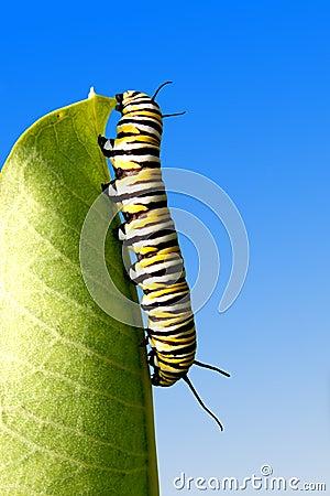 Eating Caterpillar