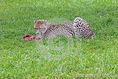 Eating cheetah