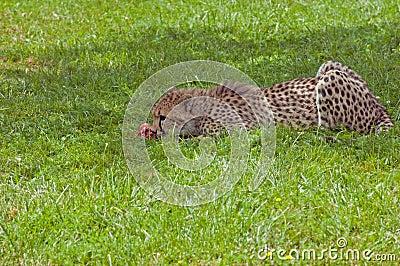 Eating cheetah