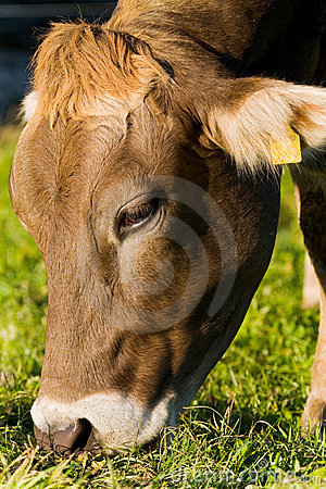 Eating Cow Royalty Free Stock Image - Image: 16990576