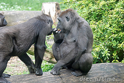 Eating gorillas