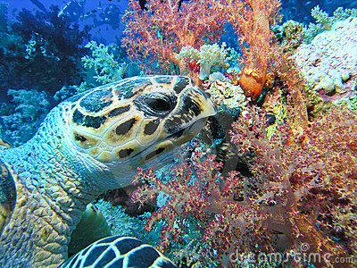 Eating Green Turtle, Red Sea