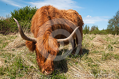 Eating Highland cow