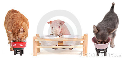 Eating Kitten,Chihuahua and Guinea Pig isolated