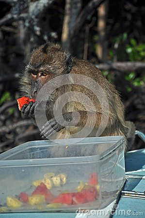 Eating monkey, Thailand
