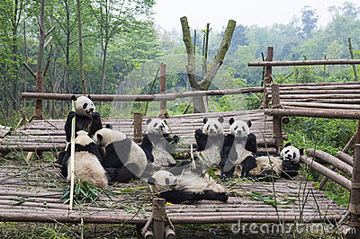 Eating Pandas