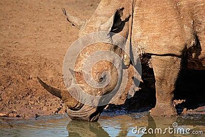 Eau potable de rhinocéros blanc