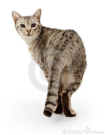 Ebony Silver Ocicat isolated on white