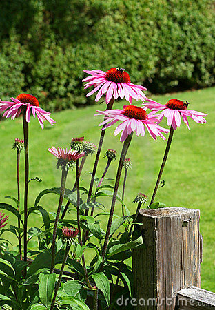 Free Echinacea Stock Photo - 1044460