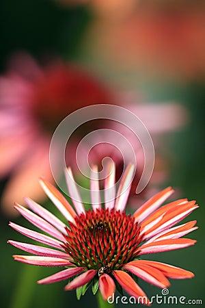 Free Echinacea Stock Photo - 6197410