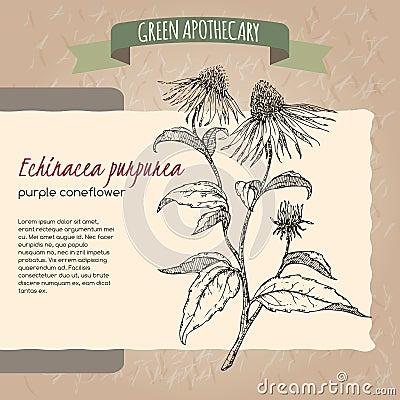 Free Echinacea Aka Purple Coneflower Sketch Royalty Free Stock Image - 64364896