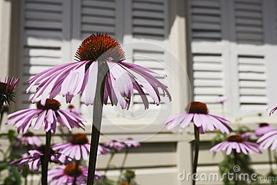 Echinacea blooms in the sunshine