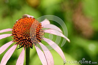Echinacea - Cone Flower