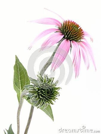 Free Echinacea Flower Royalty Free Stock Photo - 1033795